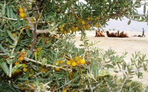 Leh berry bush, image courtest of indiaimaggallery.com