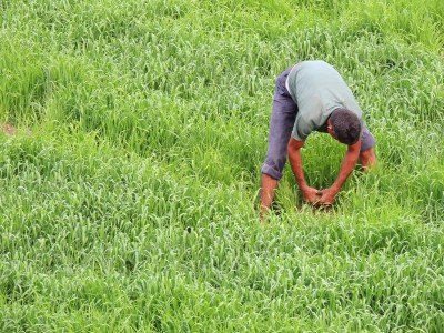 man working in green wheat field