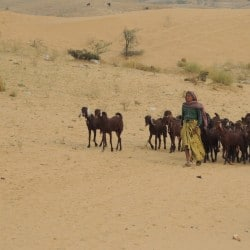 woman herding goats in pushkar desert